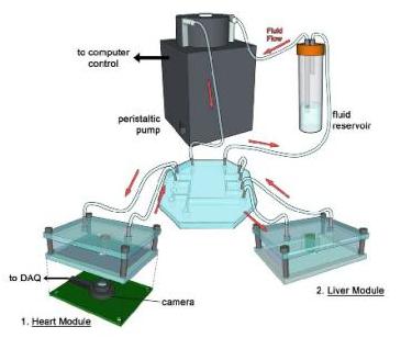 3D打印技术:多器官微流控芯片