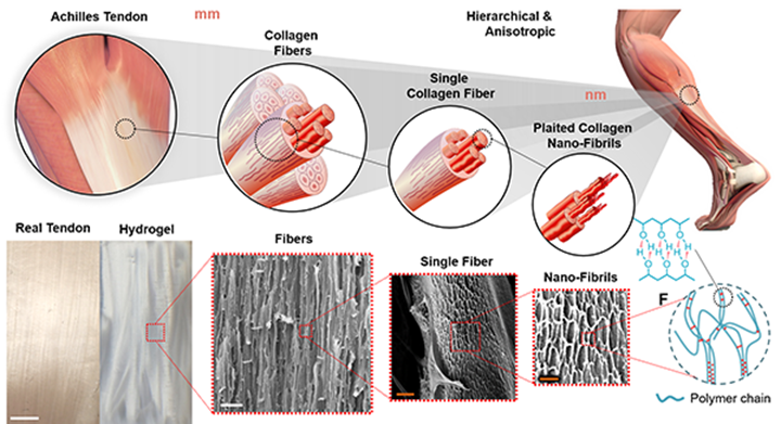 研究人员生物3D打印了更坚固的人造肌腱